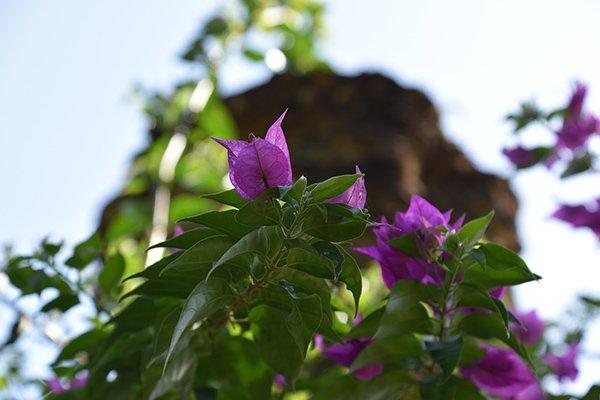 gezonde groene struik met felpaarse bloemetjes in san anton tuinen centraal malta