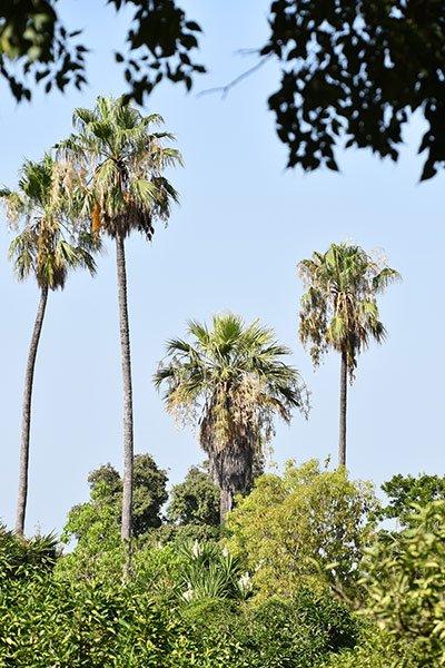 hoge palmen in de san anton tuinen in het centrum van het eiland malta