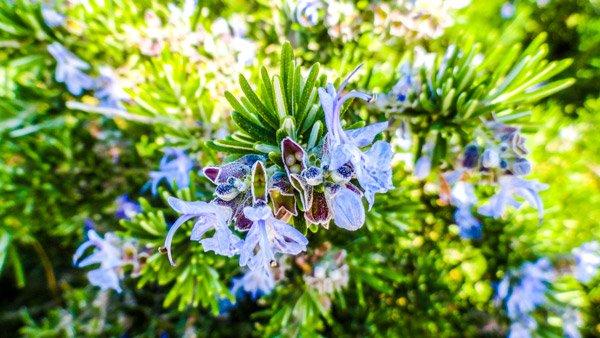 plant met speciale bloemen in perkje in the three cities newmalta