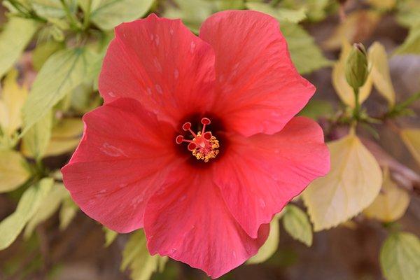 close up roze bloem groeiend in san anton tuinen te malta
