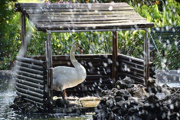 fiere witte zwaan rustend in zwanenhok in vijver in san anton tuinen centraal malta