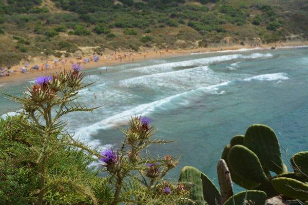 kleurrijke distels en cactussen nabij ghajn tuffieha bay noorden van malta